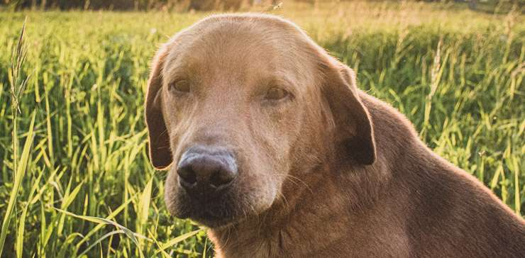 Chenil L Aile Bleu Elevage Canin Labrador Pension Dressage Et Boutique